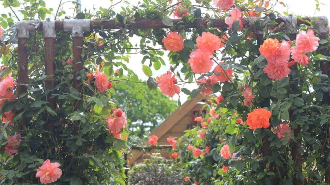 roses-min