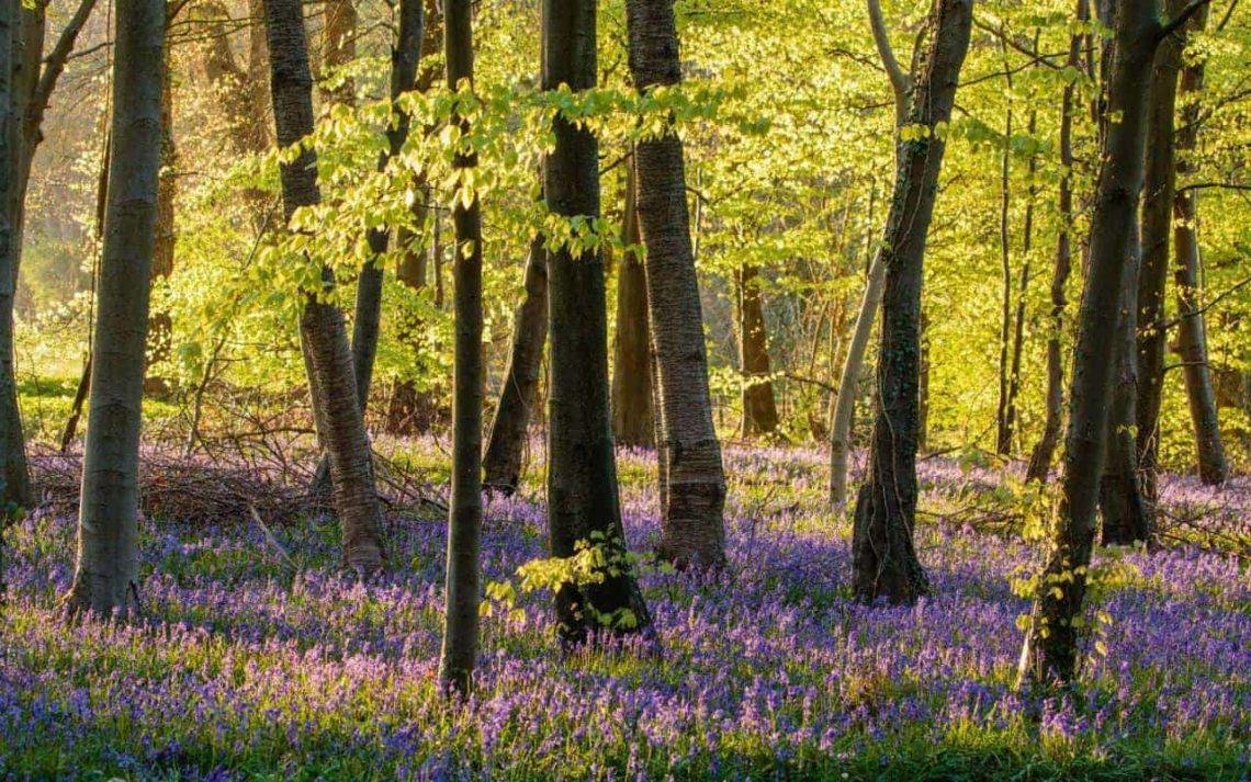 Bluebells_Cranham_Woods-min