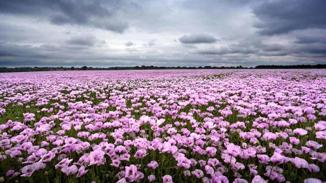 Pink Poppies near Charlbury-min